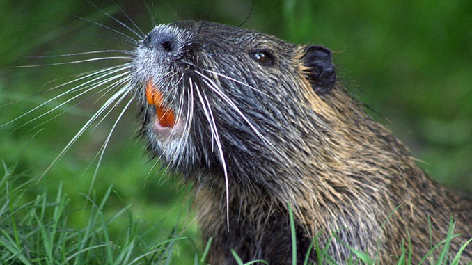Police Apprehend Angry Beaver In Barrie, Ontario